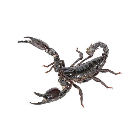 erectile: Scorpion on a white background.