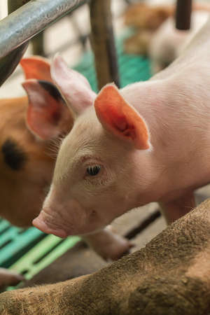 suckle: Newborn pigs are trying to suckle from its mother pig.