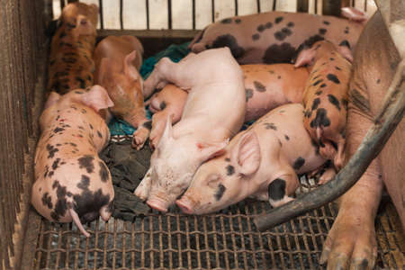piglets: Little Pig after pig finished breastfeeding was sleeping Stock Photo