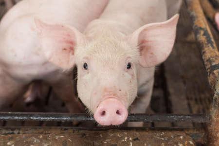 spanferkel: Kleine Schweine glücklich zu spielen Lizenzfreie Bilder