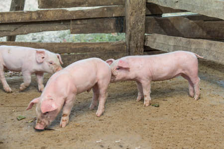 young pig: Pigs are brought together for a walk in a wood enclosure