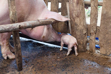 to tease: Mother pig piggy tease each other Stock Photo