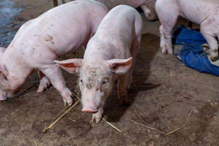 3 little pigs: Piglet running around in the paddock after feeding finished