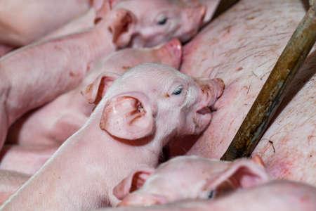 spanferkel: Newborn piglets are trying to suckle from its mother pig. Scramble for the newborn piglet suckling pig mother. Lizenzfreie Bilder