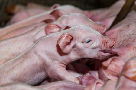 3 little pigs: Newborn piglets are trying to suckle from its mother pig. Scramble for the newborn piglet suckling pig mother. Stock Photo