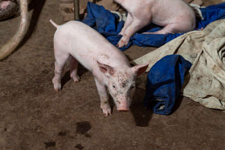fabric surface: Newborn piglets are playing with the fabric surface Stock Photo