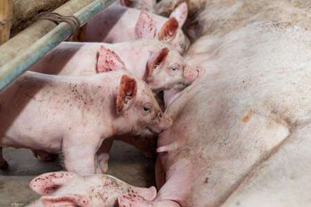 Pig races are breastfed newborn pigs. Stock Photo