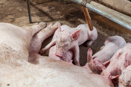 Pig races are breastfed newborn pigs and then fell asleep