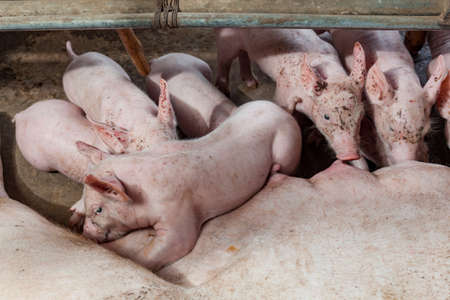 Pig races are breastfed newborn pigs Stock Photo