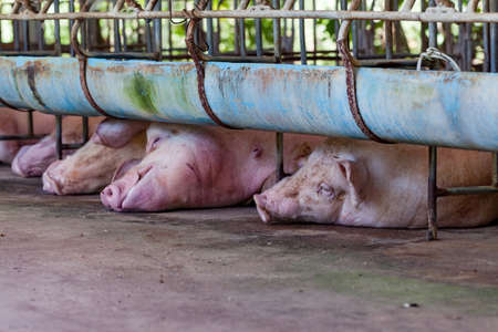 3 little pigs: Mother pigs are sleeping in the stables