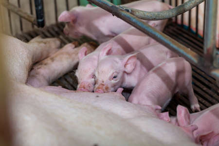vying: Newborn piglet Are vying for breastfeeding.
