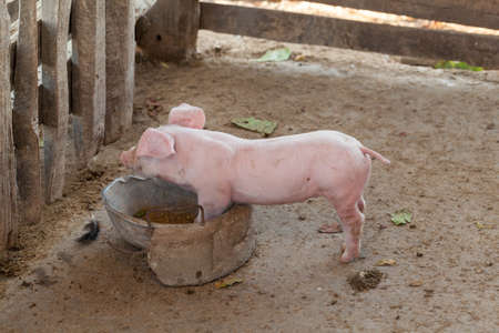 Pigs are brought together food stall in the build out of wood