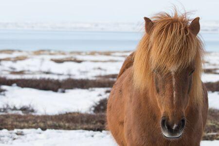 icelandic: Icelandic Horse , close up shot of the side of horse