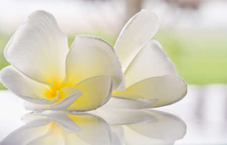 Plumeria flowers white with a reflection on a flat surface and a light green background Stock Photo - 10356760