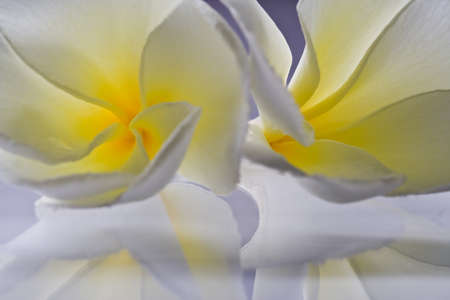 White Frangipani flowers Close up shooting photo