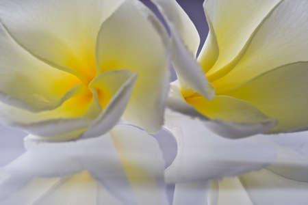 White Frangipani flowers Close up shooting Stock Photo - 10356777