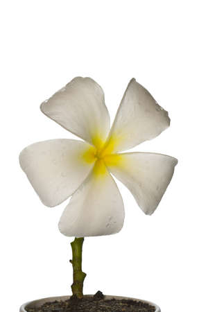 Plumeria flowers white with yellow stamens on a white background Stock Photo - 10423637