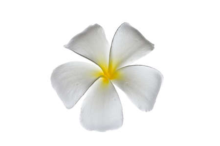 lucidity: Frangipani flowers white with a light day on a white background Stock Photo