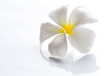 Frangipani flowers white with a light day on a white background Stock Photo - 10423638