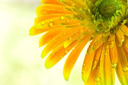 barberton daisy: Close photography, orange gerbera flowers, blurry background
