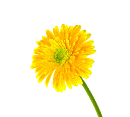 featured: Beautiful gerbera flowers featured on a white background Stock Photo