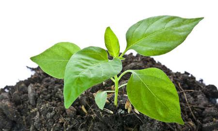 pepper seedlings growing in soil fertility. Stock Photo - 10626162