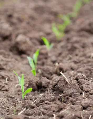 planting a tree: Corn seedlings growing cultivation of farmers