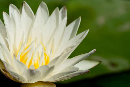 rule of thirds: white lotus with yellow stamens on a green background. Stock Photo
