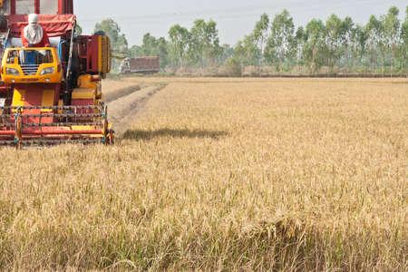 cosechadora: El segador siega en los campos y los cultivos están maduros