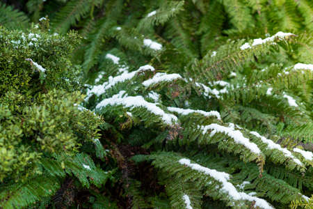 Snow flakes on fern's leaves.Close up shot with copy space. Фото со стока
