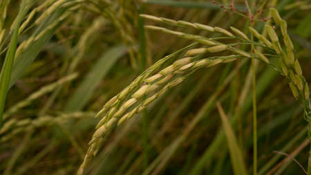 Close up shot of ripe golden paddy in paddy field.