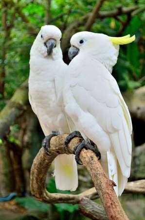 White macaw pair  photo