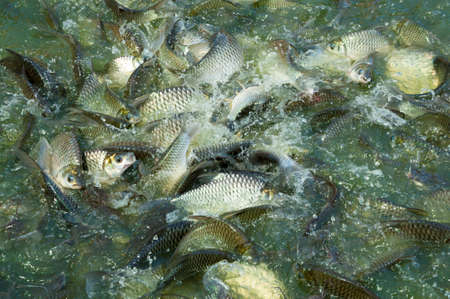 mirror carp: Many silver carp in the Thailands pool
