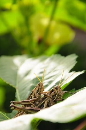 Locusts are breeding in nature at beautiful