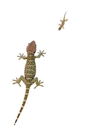 tokay gecko: A gecko on white background