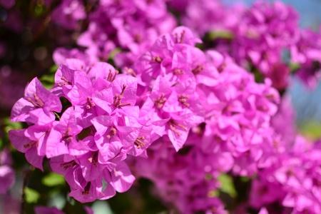 Bougainvillea, Paper flower in the garden. photo