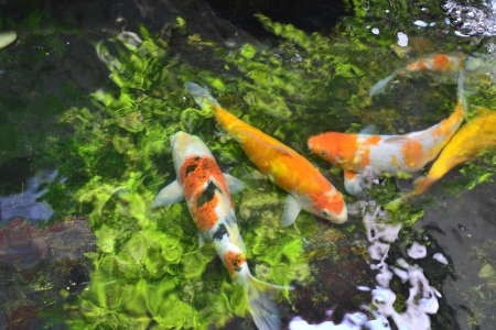 Koi fishes in Chinese garden.  photo