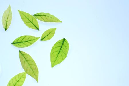 Green Leaves isolated on  white background Stock Photo