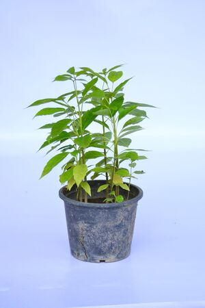 Seedling of  Pink trumpet tree  in flowerpot isolated on white background. photo