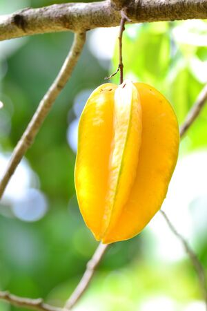 Star apple( Carambola) fruit on the tree photo