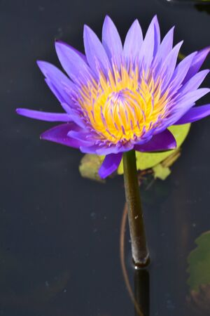 Beautiful purple lotus with natural light. photo