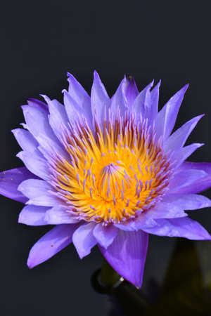 Purple lotus with black background. Stock Photo - 14363204
