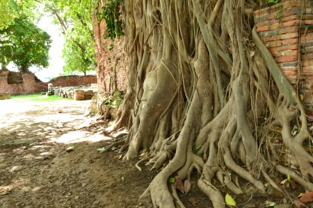 Buddha's head in phothi tree at Ayutthaya.Thailand. photo