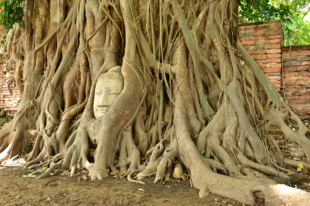 Buddhas head in phothi tree at Ayutthaya.Thailand. photo