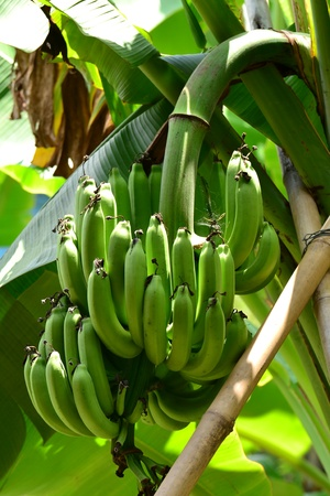 Bunch of  bananas on tree,Thailand