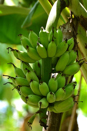 Bunch of  bananas on tree,Thailand photo