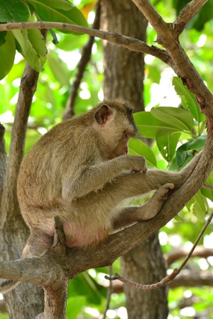 Moneky in  Mangrove forest ,Samut Songkhram Province,Thailand Stock Photo
