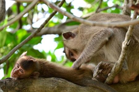 Moneky in  Mangrove forest ,Samut Songkhram Province,Thailand Stock Photo - 15662558