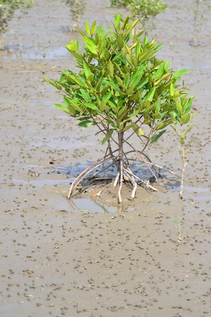 Little Avicennia marina tree  in  Mangrove forest ,Samut Songkhram Province,Thailand photo