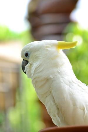 preening: Yellow-crested Cockatoo Stock Photo